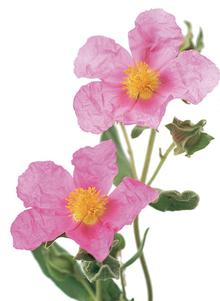 Cistus Pflanze